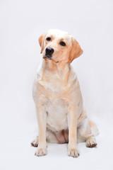 Portrait of the golden labrador