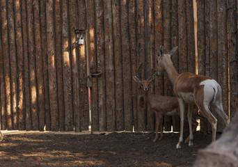 Soemmerring's gazelle, Nanger soemmerringii, mother and baby near a wooden fence