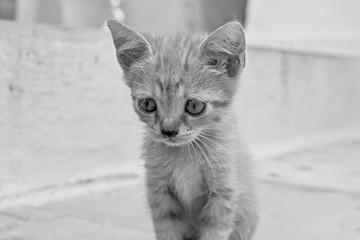 closeup little fluffy kitten of monochrome gray tone