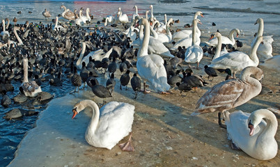 Flock of birds along the shore of an icy lake in winter