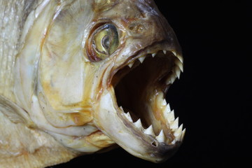 Jaws of a dried piranha viewed up close