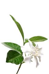 Cape Gardenia flower isolated on white background.