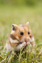 little hamster in the grass