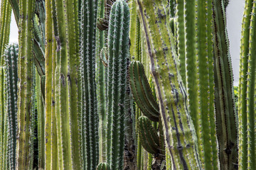 Group of tall green cacti, Mexico