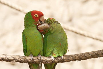 Kissing parrots on a rope