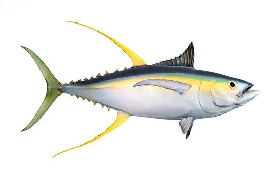 Yellow fin Tuna (Thunnus albacares) isolated on white background.