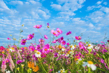 The Cosmos Flower of grassland