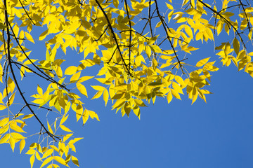 Sunlit Autumn Yellow Leaves Against Blue Sky