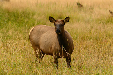 Cow elk alert in golden meadow