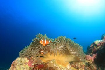 Clownfish Anemonefish Nemo fish
