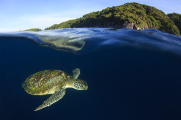 Green Sea Turtle swims below ocean surface next to tropical island