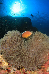 Clownfish Anemonefish Nemo fish