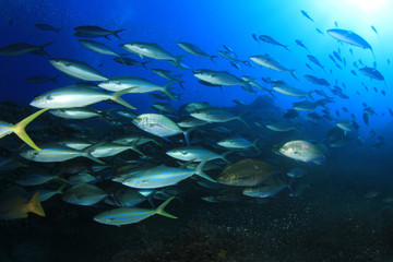 Swarm predator fish school hunting: Tuna, Trevallies, Jacks, Rainbow Runners, Emperors, Snappers and Wrasse