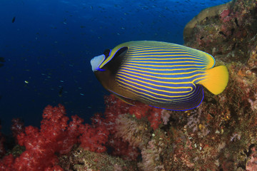 Tropical fish: Emperor Angelfish