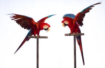 Two parrots sit on a stick