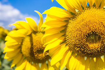 closeup sunflowers on blue sky background at the field in summer