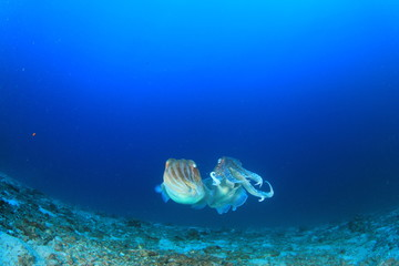 Pair Pharaoh Cuttlefish (Sepia) mating