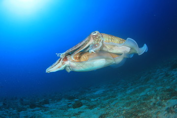 Pair Pharaoh Cuttlefish (Sepia) mating