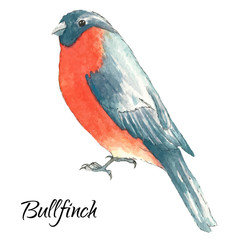 The bullfinch sits on the tree branch