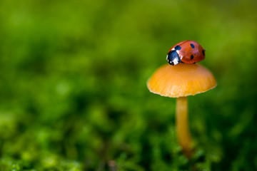 Ladybug on a mushroom, close up with small depth of field