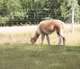 Alpaca on farm