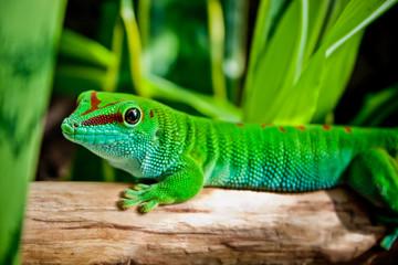 Madagaskar Taggecko, Phelsuma madagascariensis grandis