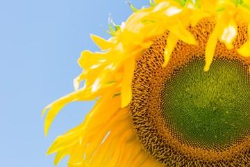 Sunflower on blue sky background