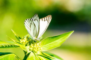 Macro of butterfly on wild flower. (The Striped Albatross)