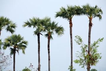 sugar palm tree.