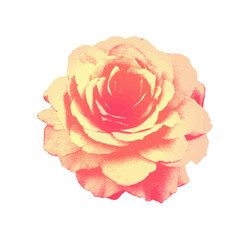 Rose isolated on  background. Vintage.