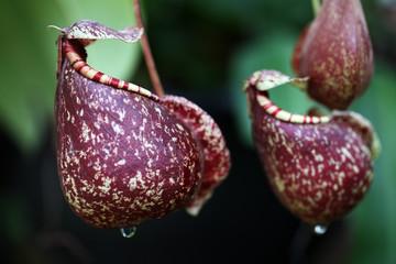 tropical pitcher plant.