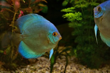 Discus (Symphysodon), cichlids in the aquarium, the freshwater fish native to the Amazon River basin