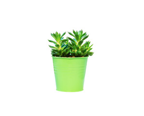 Haworthia succulent plant in vivid pot on white background