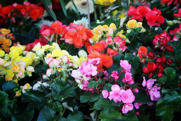 colorful begonia rose.