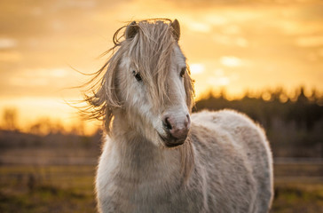 Wall Mural - White shetland pony on the sunset