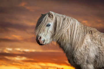 Wall Mural - Portrait of white shetland pony on the sunset