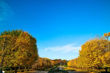 紅葉、公園のイチョウ並木