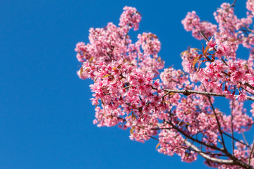 Wild Himalayan Cherry with blue sky