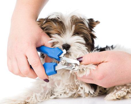vet cutting dog toenails. isolated on white background
