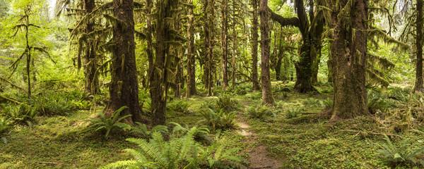 Hoh Rainforest Panorama