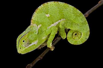 Flapnecked chamaeleon (Chamaeleo dilepis)