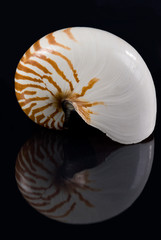A Nautilus shell on black background with reflection. The nautilus shell presents one of the finest natural examples of a logarithmic spiral.