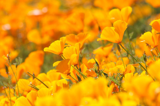 A large cloud of of orange California poppies, brightening a spring day by the roadside.