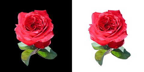 Close up dark red rose isolated on white and black background