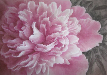 Peony - Paeonia officinalis - flower drawing.