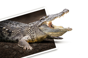 Crocodile in photo