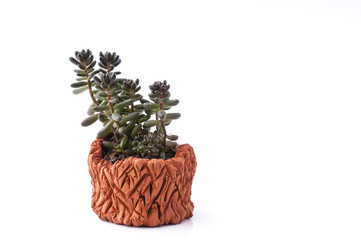 Succulent plant in homemade clay pot.