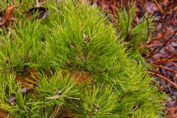 Decorative fir bush of green spruce