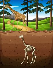 Giraffe on the ground and fossil underground