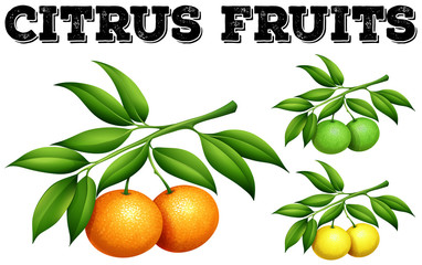 Fresh citrus fruits on the branch